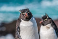 Rockhopper penguins polar wildlife background Royalty Free Stock Photos