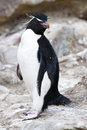 Rockhopper pingvin - Falkland Islands Royaltyfria Bilder
