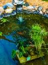 Koi pond with fish swimming Royalty Free Stock Photo