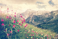 Rocky Fisht Mountains and green alpine valley with blooming pink flowers Landscape Royalty Free Stock Photo