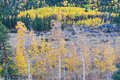 Rocky mountain autumn contrast scenic landscape view of in the high coumtry of the mountains colorado aspen trees with golden Royalty Free Stock Image