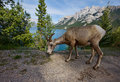 Rocky mountain big horn Royalty Free Stock Photo