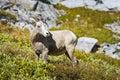 Rocky Mountain Big Horned Sheep Royalty Free Stock Photo