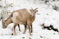 Rocky mountain bighorn sheep ovis canadensis banff national park alberta canada Stock Photography