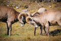Rocky mountain bighorn sheep ovis canadensis wilcox pass jasper national park alberta canada Royalty Free Stock Photography