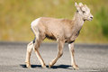 Rocky mountain bighorn sheep ovis canadensis young jasper national park alberta canada Royalty Free Stock Photos