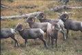 Rocky Mountain Bighorn Sheep Rams Royalty Free Stock Photo