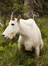 Rocky Mountain Goat Stock Image