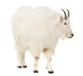 Rocky mountain goat over white background Royalty Free Stock Photo