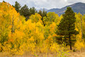 Rocky Mountain Park Aspens Royalty Free Stock Photo