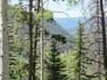 Rocky Mountain Quaking Aspen and Pine Trees Royalty Free Stock Photo