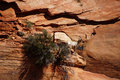 Rocky mountain sheep ovis canadensis climbing on red sandstone cliffs in zion national park utah Stock Photography