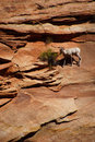 Rocky mountain sheep ovis canadensis climbing on red sandstone cliffs in zion national park utah Royalty Free Stock Image