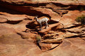 Rocky mountain sheep ovis canadensis climbing on red sandstone cliffs in zion national park utah Royalty Free Stock Photography