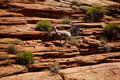 Rocky mountain sheep ovis canadensis climbing on red sandstone cliffs in zion national park utah Stock Photo