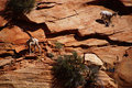 Rocky mountain sheep ovis canadensis climbing on red sandstone cliffs in zion national park utah Royalty Free Stock Images