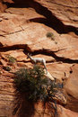Rocky mountain sheep ovis canadensis climbing on red sandstone cliffs in zion national park utah Stock Photos