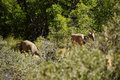 Rocky mountain sheep ovis canadensis grazing in thick brush in zion national park utah Royalty Free Stock Images