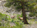 Rocky mountain sheep yellowstone checking each other out Stock Photography