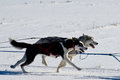 Rocky mountain sled dog championships racing sled a pair of huskies shown in a close up view pulling a during competition in the Royalty Free Stock Images