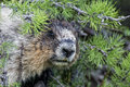 Rocky mountains canadian marmot portrait Lizenzfreies Stockfoto
