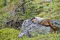 Rocky mountains canadian marmot portrait Royaltyfri Bild