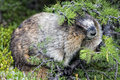 Rocky mountains canadian marmot portrait Royaltyfri Foto