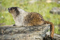 Rocky mountains canadian marmot portrait Arkivbilder