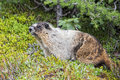 Rocky mountains canadian marmot portrait brown and white groundhog Royalty Free Stock Photos