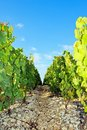 Rocky path near vineyards vineyard of chablis burgundy france Royalty Free Stock Images