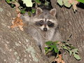 Rocky Raccoon Royalty Free Stock Photo