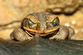Rococo toad bufo paracnemis in south america Stock Photography