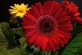 Rode gerber daisy Stock Foto's