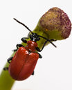 Rode lily beetle Stock Foto