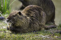 Rodent wild coypu fed by humans Royalty Free Stock Images