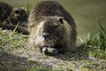 Rodent wild coypu fed by humans Stock Image