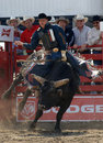 Rodeo: Bull Fighting Stock Image