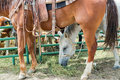 Rodeo horses Royalty Free Stock Photo