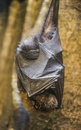 Rodrigues flying fox or rodrigues fruit bat pteropus rodricens close up shot of a hanging on a tree Royalty Free Stock Photography