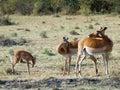 Rodzinny antylopa kąsek themselves  Zdjęcie Royalty Free