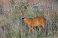 Roe buck a summer evening Royalty Free Stock Photo