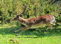 Roe deer Royalty Free Stock Photos