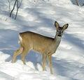 Gama ciervo