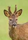 Roe deer buck Stock Photos