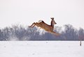 Roe deer buck in the air capreolus capreolus on snow jumping across field horizontal orientation blurred background Stock Images