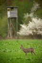 Roe deer buck in long grass with hunters high seat in the backgr background Stock Photography