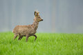 Roe deer buck in long grass watching for danger a lush green meadow Stock Photography