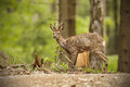 Roe deer buck in thick forest watching for danger the Royalty Free Stock Image