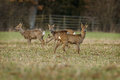 Roe deer buck and three females with a herd of grazing on farmland Stock Photography
