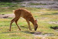Roe deer calf Royalty Free Stock Photos
